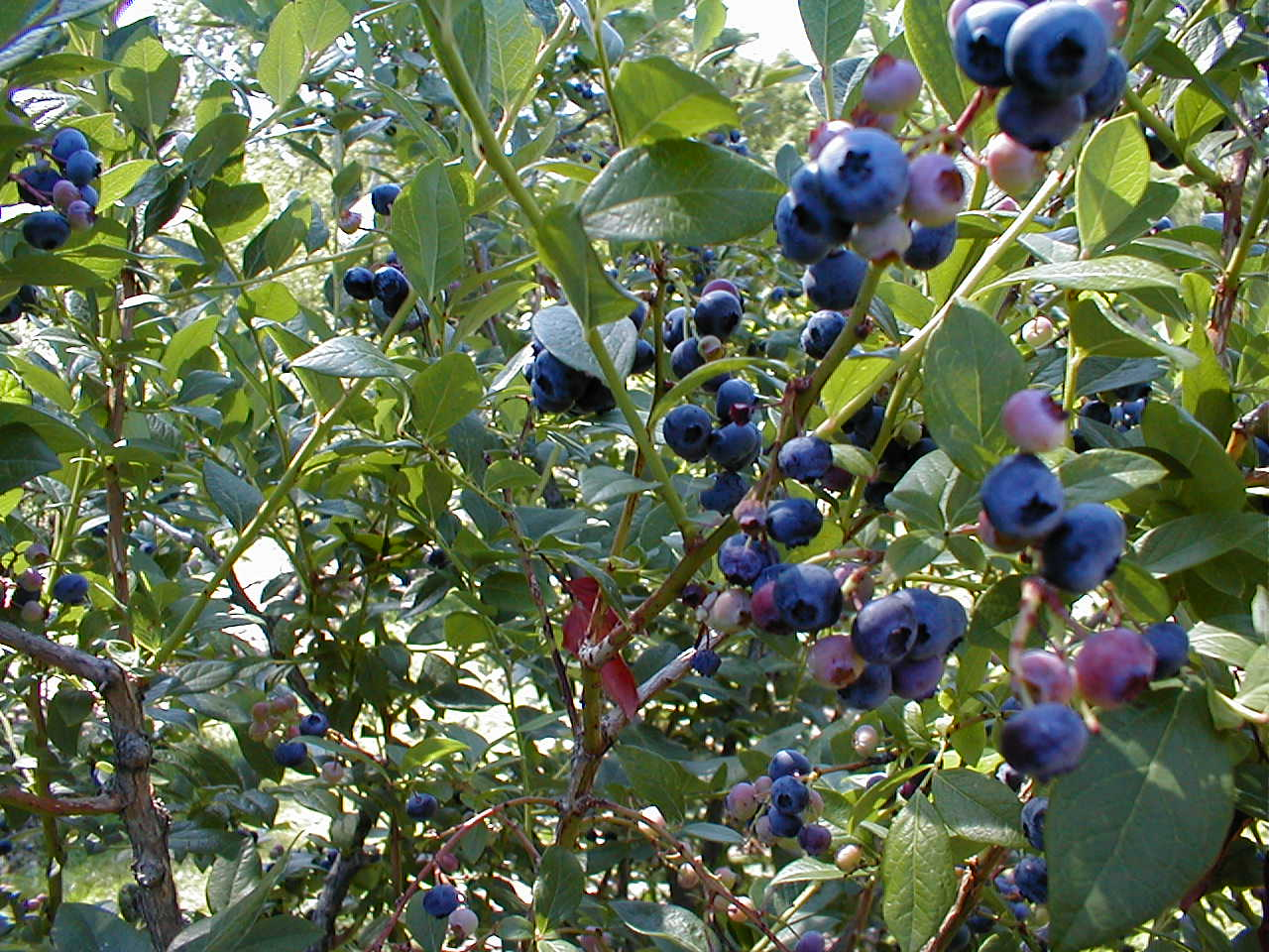 [A blueberry bush]
